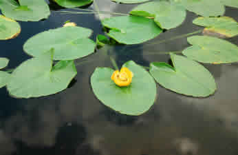 yellowpond lillies